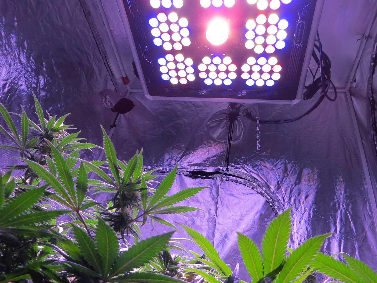 How Far Away Do I Keep Grow Lights From Cannabis Plants