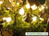 Beginner Guide to Growing Cannabis with CFL Lights | Grow ...