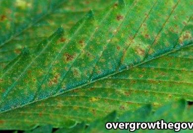 D64054/grow Weed Easycannabis Symptoms Pictures