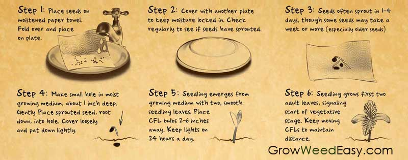 Paper Towel Method - Germinate Marijuana Seeds Demonstration