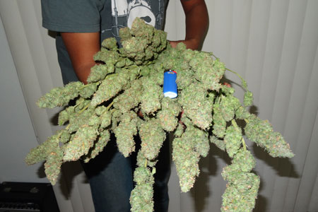 Tips For DryingCuring Your Cannabis Buds  Grow Weed Easy
