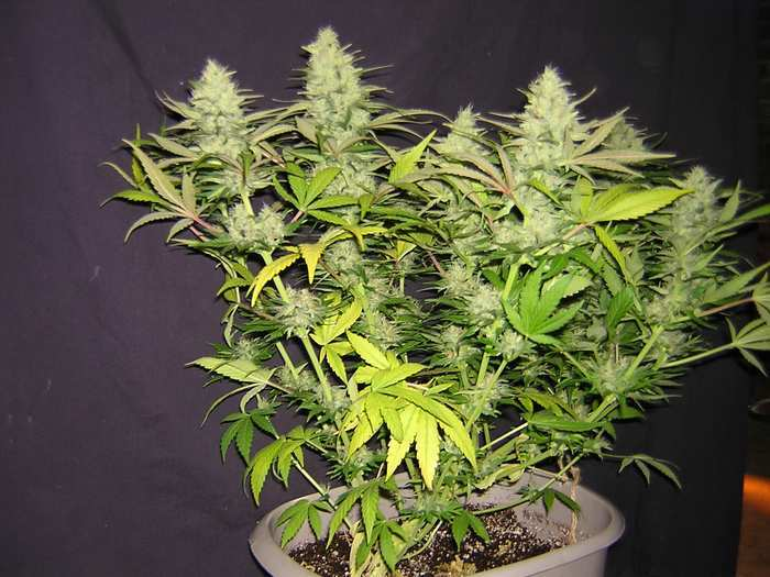 How To Fix Nitrogen Deficiency Yellow Leaves Grow Weed
