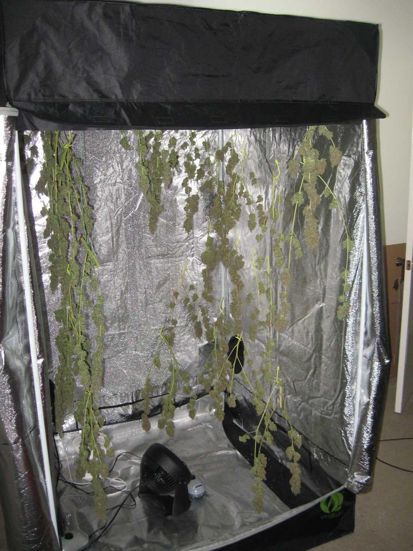 Original Guide to Drying and Curing Marijuana Buds
