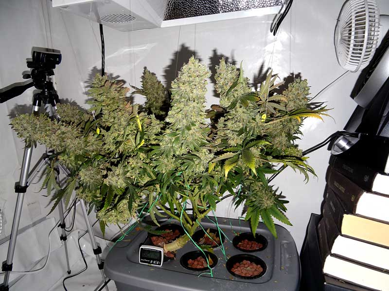 Northern Lights Autoflower Flowering Time
