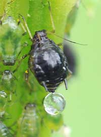 An adult aphid on a cannabis plant making a drop of honeydew - you don't want it as it attracts sooty mold!