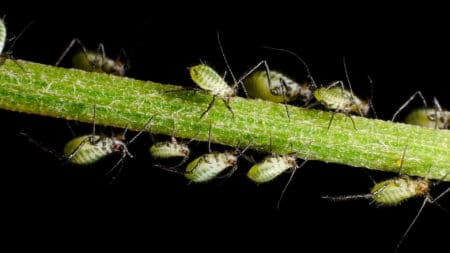 These aphids from Germany are pale green with dark legs and green eyes. These bugs can look very different depending on your part of the world!