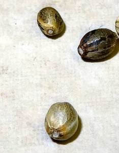 Beat up seeds also are these cannabis good grow weed easy rh growweedeasy
