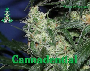 DNA Genetics LA Cannalope Cannadential 6