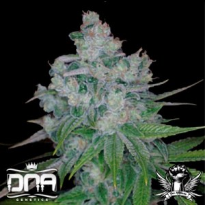 DNA Genetics Kandy Kush x Skunk 6