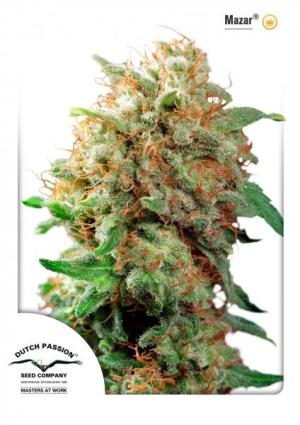 Mazar Indoor FEM Dutch Passion