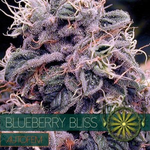 Blueberry Bliss Auto Vision Seeds