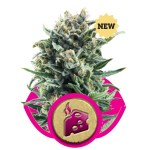 Blue Cheese Fem Royal Queen Seeds