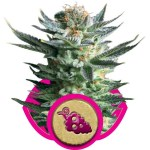 Royal Queen Seeds Fruit Spirit FEM 3