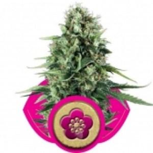 Royal Queen Power Flower 3