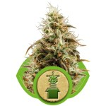 Royal Queen Seeds Royal Jack Auto 3