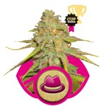 O.G. Kush FEM Royal Queen Seeds