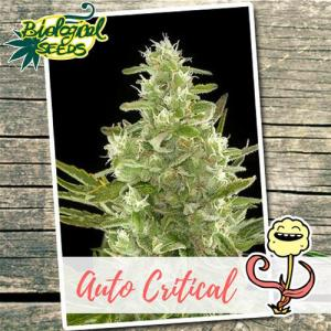 Auto Critical Auto Biological Seeds
