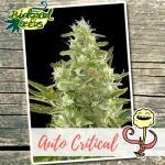 Auto Critical Auto Biological Seeds