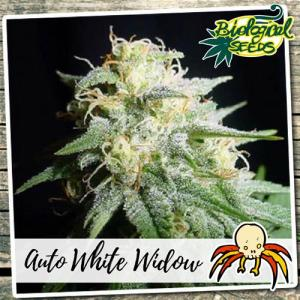 Auto White Widow Biological Seeds