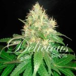 NORTHERN LIGHTS BLUE Fem Delicious Seeds