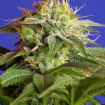 Green Poison F1 Fast Version Sweet Seeds