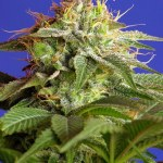 Green Poison F1 Fast 5