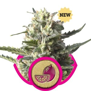 Lemon Shining Silver Haze FEM Royal Queen Seeds