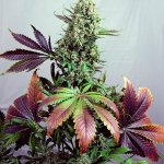 PURPLE HAZE #1 Fem