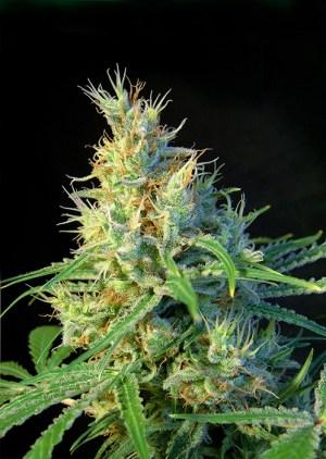 Psicodelicia Fem Sweet Seeds