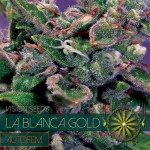 LA BLANCA GOLD AUTO VISION SEEDS