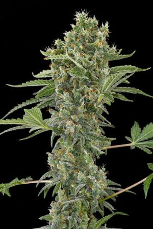 Moby Dick Auto 3
