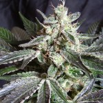 Black Jack F1 Fast Version Sweet Seeds