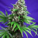 Killer Kush F1 Fast Version Sweet Seeds