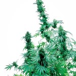 Early Skunk Reg 10 semi Sensi Seeds