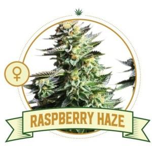 Raspberry Haze Fem City Seeds Bank