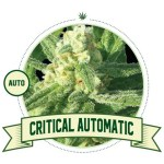 Critical Auto City Seeds Bank