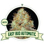 Easy Bud Auto City Seeds Bank