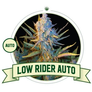 Low Rider Auto City Seeds Bank
