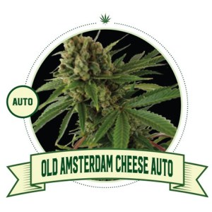 Old Amsterdam Cheese Auto City Seeds Bank