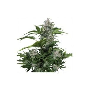 WHITE DWARF Auto Buddha Seeds