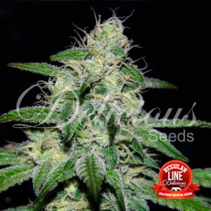 MARMALATE REGULAR - Delicious Seeds