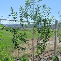 How To Prune An Apple Tree Diagram Honda 300 Fourtrax Wiring Espalier Trees Pruning Related Keywords