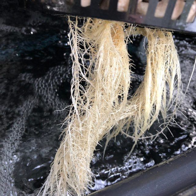 healthy-hydroponic-plant-roots-under-current-system