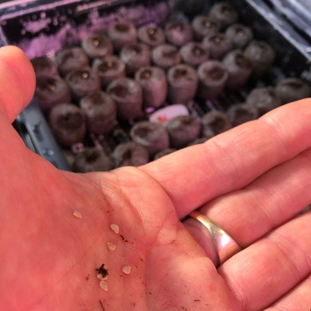 sowing seeds growing transplants