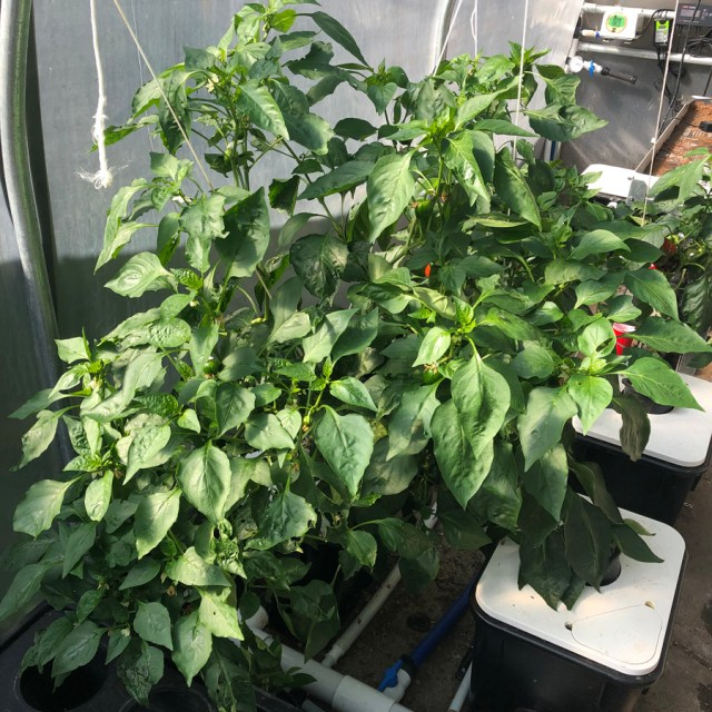 hydroponic pepper plants