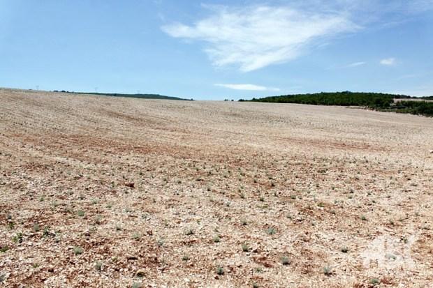 plantaze-smilja-0623815