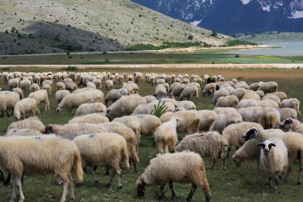 01102016-stado-ovce-blidinje9