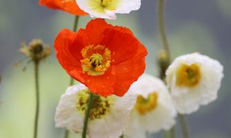 cropped-poppy-5116562_1920.jpg