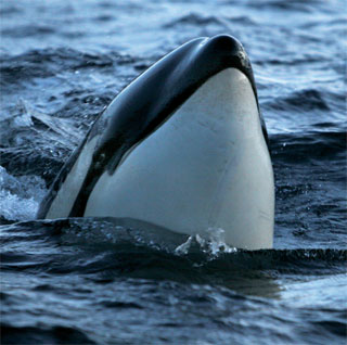 Marine mammals and fisch of Lofoten and Vesterålen recorded by oceansounds / Norway | Heike Vester