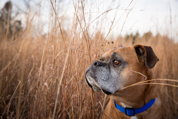 boxer dog in grass field, grumpy pups pet photography